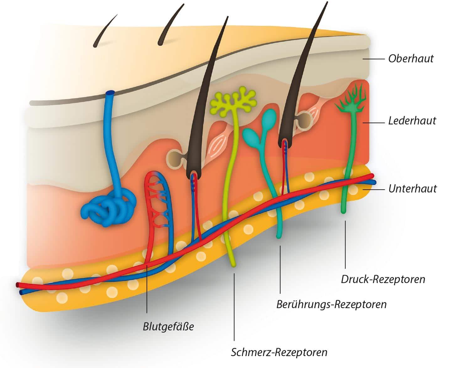 Der Aufbau der Haut 1