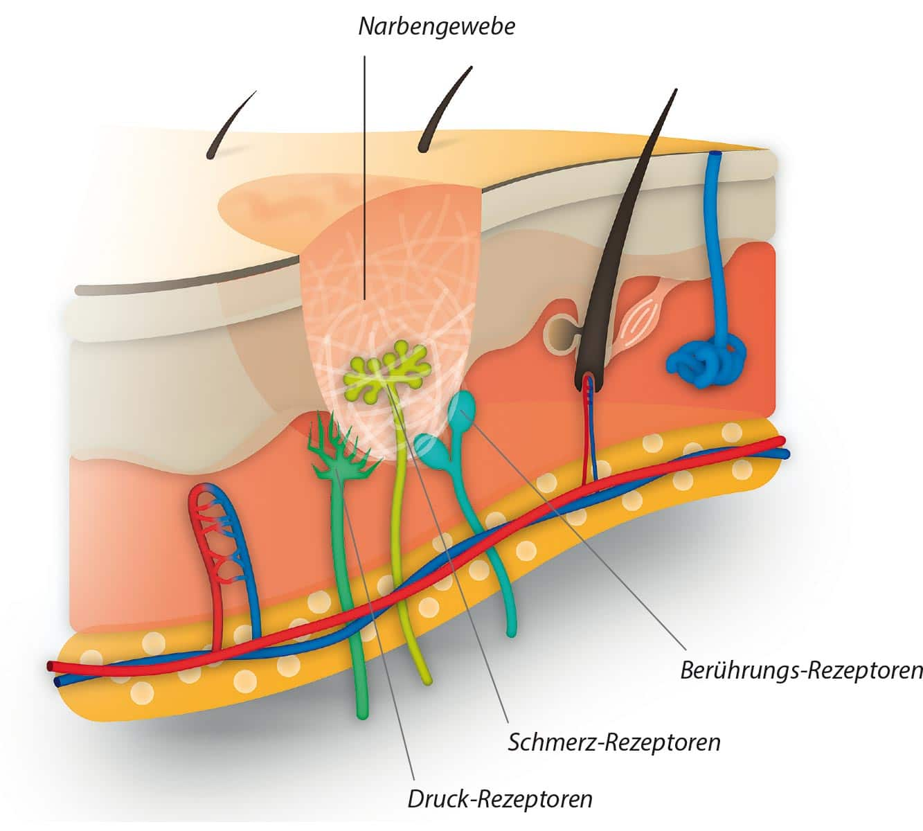 Wundheilung und Narbenbildung 1